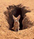 Le fennec Texte explicatif  dans 28.Msila fennec_fox_1-133x150