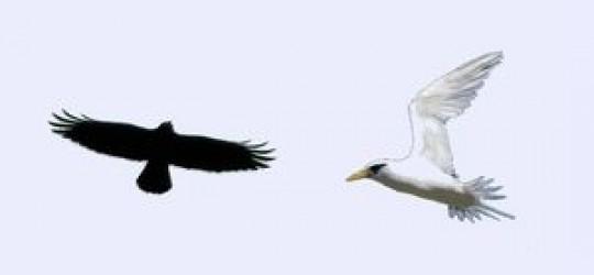 Les oiseaux blancs et les oiseaux noirs.